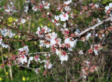 Estudo – Polinização de amendoeiras com abelhas solitárias do gênero Osmia