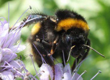 Estudo – Como toxinas das plantas e pesticidas afetam o comportamento das abelhas