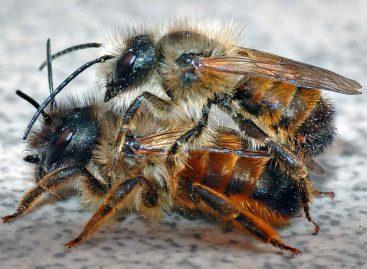 Estudo – Polinização com abelhas solitárias (Mason Bees) na Suíça: sucesso recente e futuros desafios