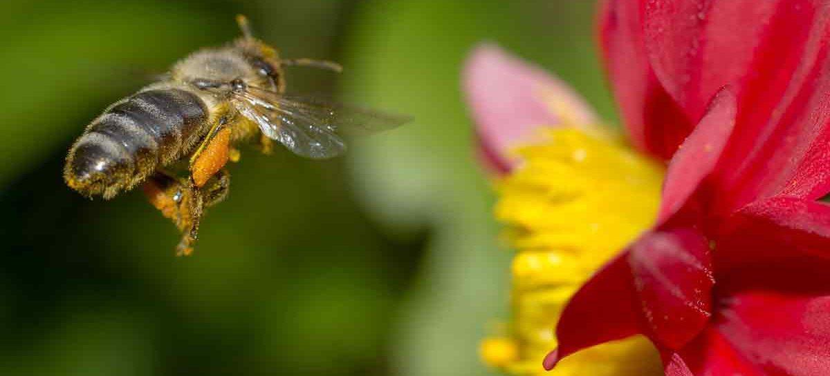 Estudo – A importância dos fitoquímicos para as abelhas e outros consumidores de mel