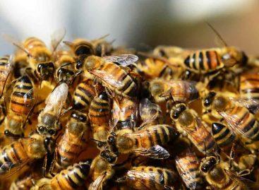 Estudo – Imunidade social da abelha melífera: coleta de resina