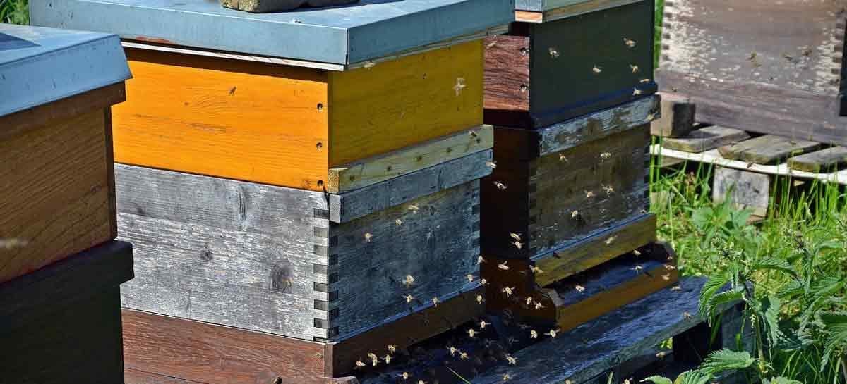 Estudo – Sustentabilidade de abelhas melíferas através de maior diversidade genética