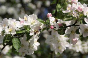 macieira-2-red