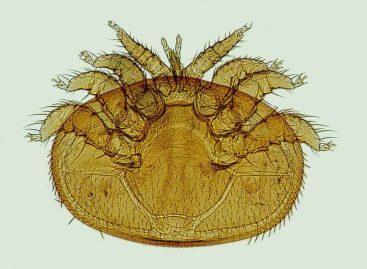 Estudo – Avaliação do ácaro <i> Stratiolaelaps scimitus </i> para controle do Varroa